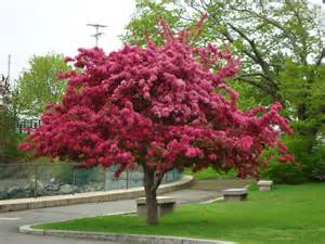 crabapple tree varieties klehm s improved bechtel