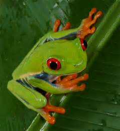 frog from colors tree frog the of animals
