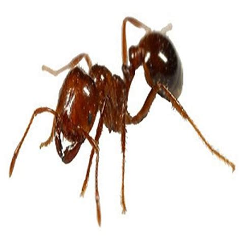 how to get rid of fire ants in the house tiny little white ants does steam kill bed bugs on clothing how to get rid of fire