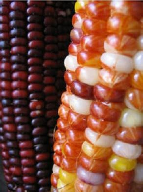 Bibit Jagung Ungu bibit jagung wum indian corn jual bibit bunga
