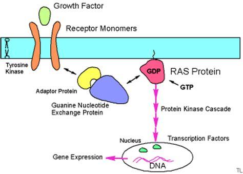 h ras protein ras proteins gene products ras