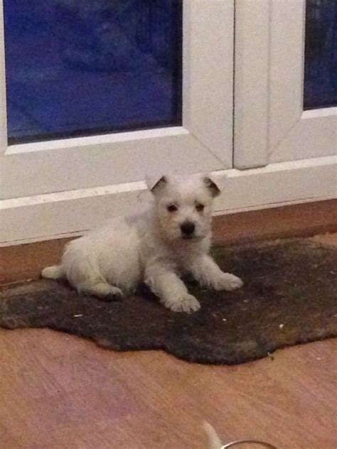 west highland white terrier puppies for sale west highland white terrier puppies for sale ely cambridgeshire pets4homes