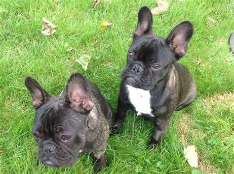 bulldog puppies for adoption 2 bulldog puppies for adoption lymm cheshire pets4homes