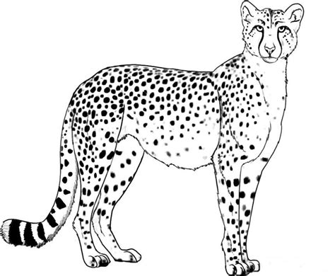cheetah coloring pages to print coloring home