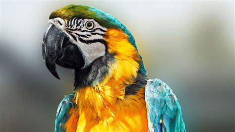 hd hintergrundbilder vogel bikcolor federn papagei