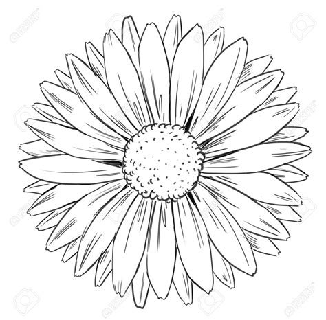 Sunflower Clip Outline by Sunflower Images Stock Pictures Royalty Free Flowers