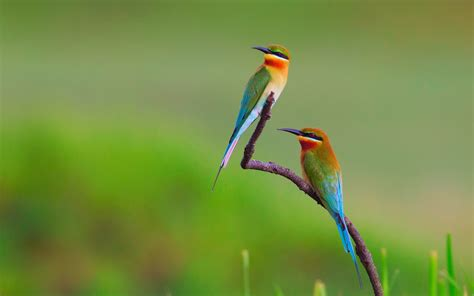 bee eater wallpapers first hd wallpapers birds bee eaters nature flowers wallpapers hd desktop