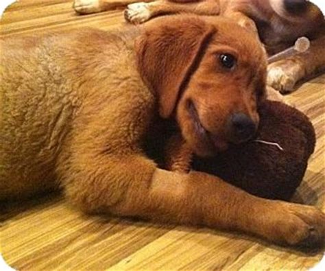 golden retriever puppies knoxville tn guppie adopted puppy knoxville tn golden retriever rhodesian ridgeback mix