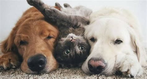two dogs and a cat 38 pictures of two dogs and a cat who just doing everything together especially