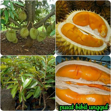 jual bibit durian tembaga super  lapak pusat bibit