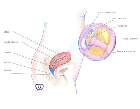 gestazionale a 5 settimane 5 quinta settimana di gravidanza periodofertile it