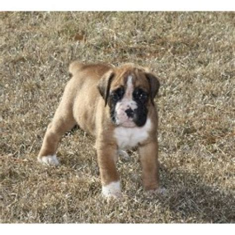 boxer puppies nc mnr s boxers boxer breeder in rocky mount carolina listing id 21219