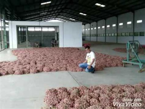 Harga Bibit Bawang Merah Brebes 2017 kementan akan ekspor bawang merah brebes ke thailand doovi