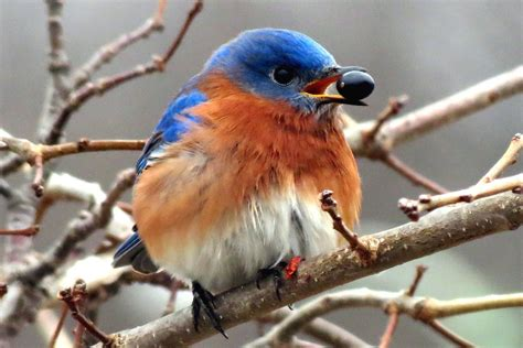 what do bluebirds eat