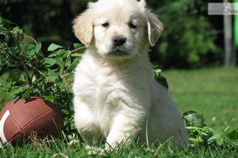 golden retriever puppies massachusetts sale golden retriever puppy for sale near boston massachusetts