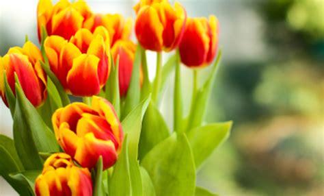 significato dei fiori tulipani significato dei fiori i tulipani quale colore scegliere