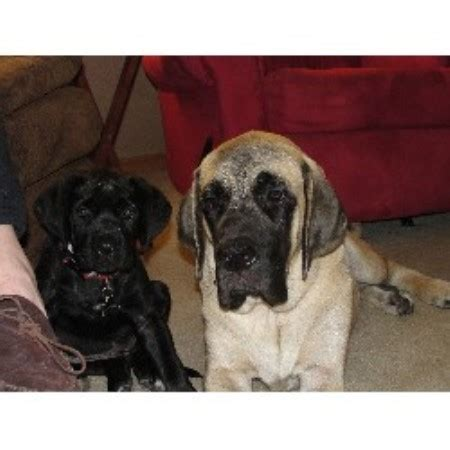 puppies for sale in dubuque iowa maplewood mastiffs mastiff breeder in dubuque iowa