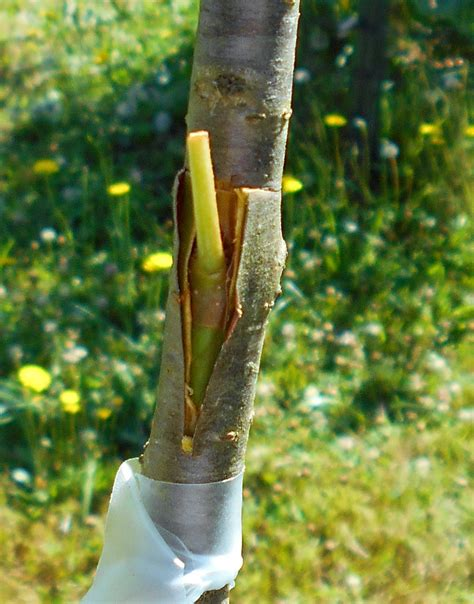 grafting and budding fruit trees t bud grafting of citrus and fruit trees