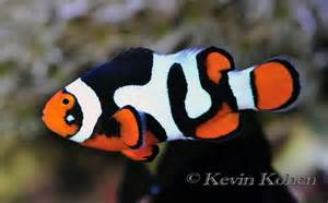 kevin kohen s picasso clownfish are the of