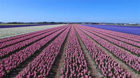 ci di fiori olanda il mozzafiato ripreso da un drone in volo sui ci
