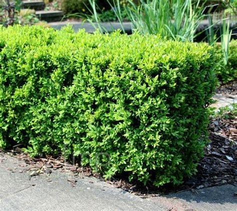 17 best ideas about boxwood shrub 2017 on pinterest boxwood tree boxwood bush and tall shrubs