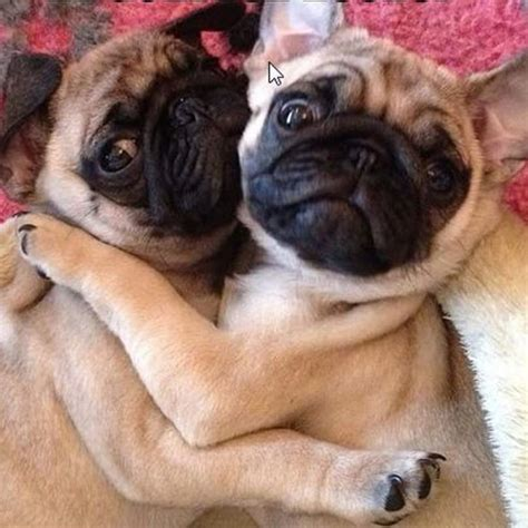 how much are pugs 2016 14 pugs that to hug