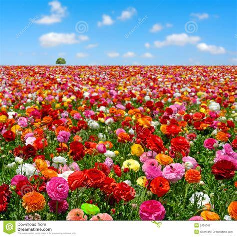 ci de fiori flowers field stock photo image of pasture color