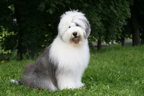 sheepdog puppy sheepdog dogs breed information omlet