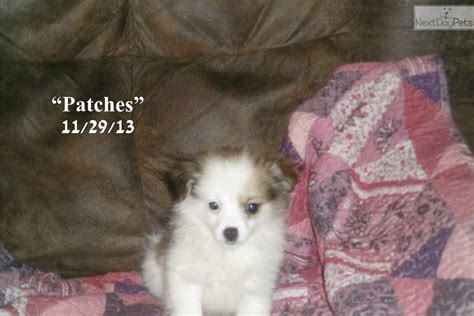 pomchi puppies for sale near me pomchi puppy for sale near huntsville decatur alabama 3dc28044 2a31