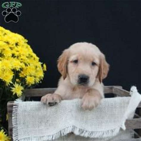 golden retriever puppy dallas golden retriever puppies for sale greenfield puppies
