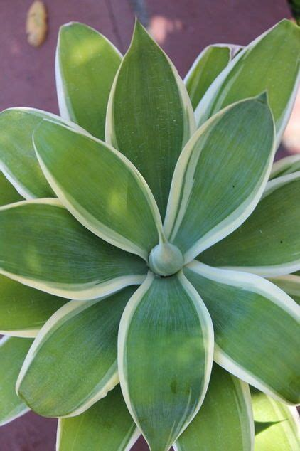 agave of light agave attenuata quot of light quot succulents