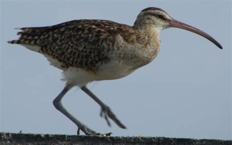 bristle thighed curlew new zealand birds online