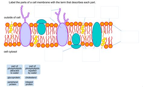 diagram of a section of a cell membrane label the parts of a cell membrane with the term t