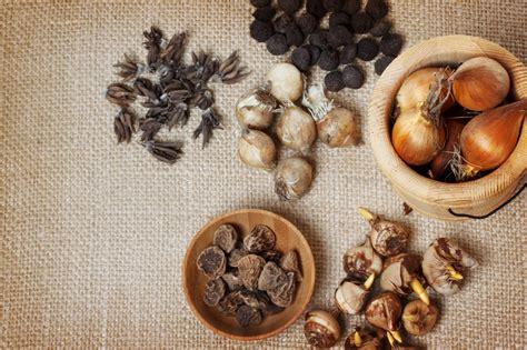 wann zwiebeln ernten ranunkel zwiebel 187 aussehen eigenschaften und pflegetipps