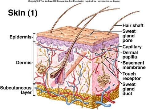skin labelled diagram integumentary system 2nd period swimming 6