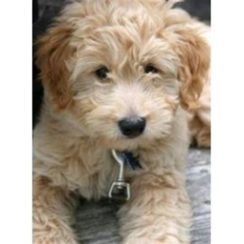 goldendoodle puppy rescue nj goldendoodle rescue