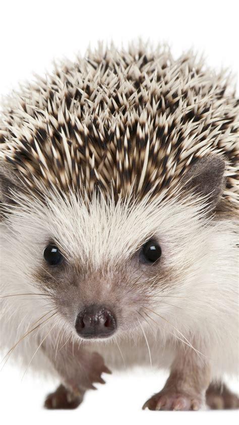 wallpaper hedgehog cute animals  animals