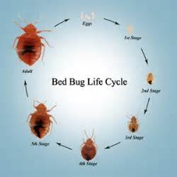 Flea Bites Vs Bed Bugs Bed Bugs Pose Further Threat Of Allergies Health4youblog
