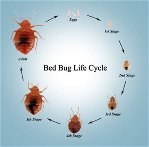 bed bug allergy bed bugs pose further threat of allergies health4youblog
