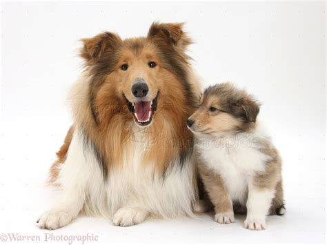 puppy cat collie and puppy photo wp38066