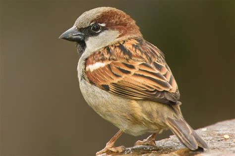 Bathroom Organizing Ideas house sparrow passer domesticus