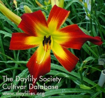 Heavenly Gardens Daylilies by Ahs Daylily Cultivar Discover Heavenly Gardens
