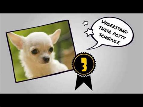 how to potty a chihuahua housebreaking a chihuahua puppy is so simple doovi