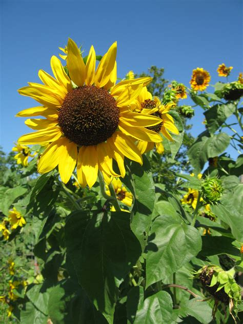sun flower garden sunflowers an essential part of every therapeutic garden