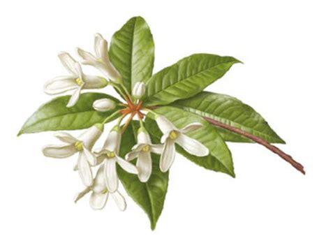 fiori di osmanto osmanthus di l erbolario nuove fragranze
