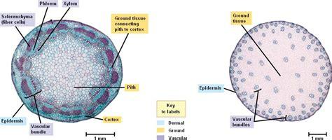 vascular tissue diagram plant vascular tissue