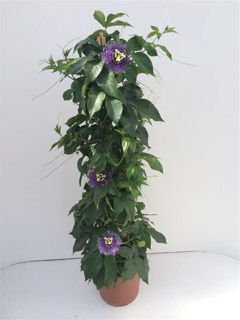 passiflora in vaso passiflora pyramide vaso 24