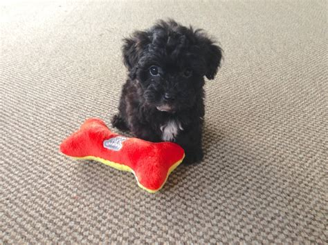 yorkie poo shedding adorable non shedding yorkie poo pups for sale micheline s pups