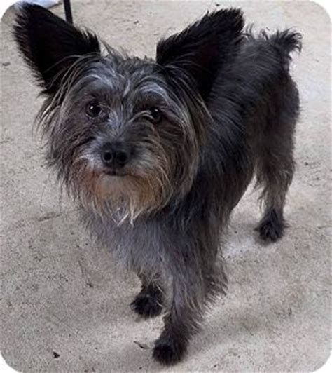 cairn yorkie cairn terrier find your pet breeds picture