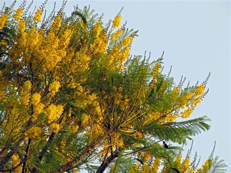 new year yellow tree schizolobium parahyba guapuruvu z 233 lia doneux rebske